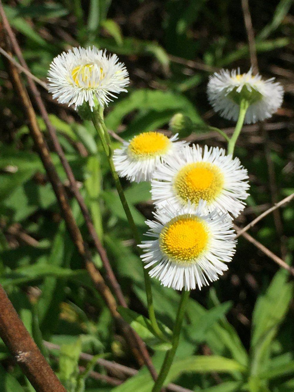 Mini-Daisy.JPG