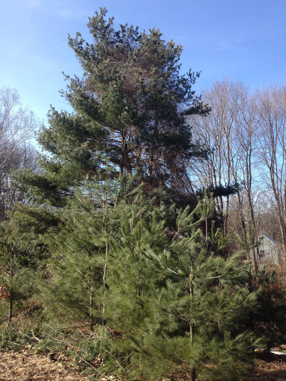 Pine Family