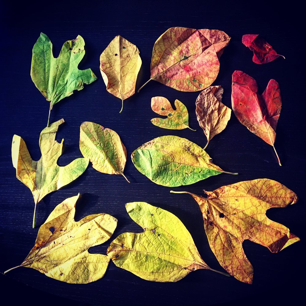 Autumn sassafras leaves: note the variety of shapes and colors.