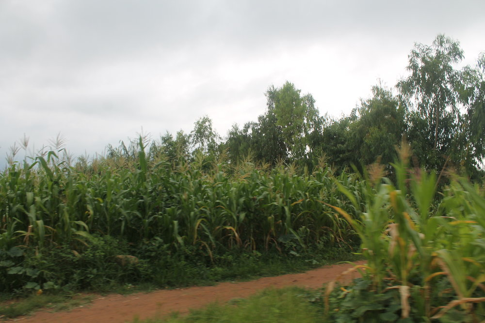 These stalks of corn are short, singed from heat, and dehydrated from little rain.