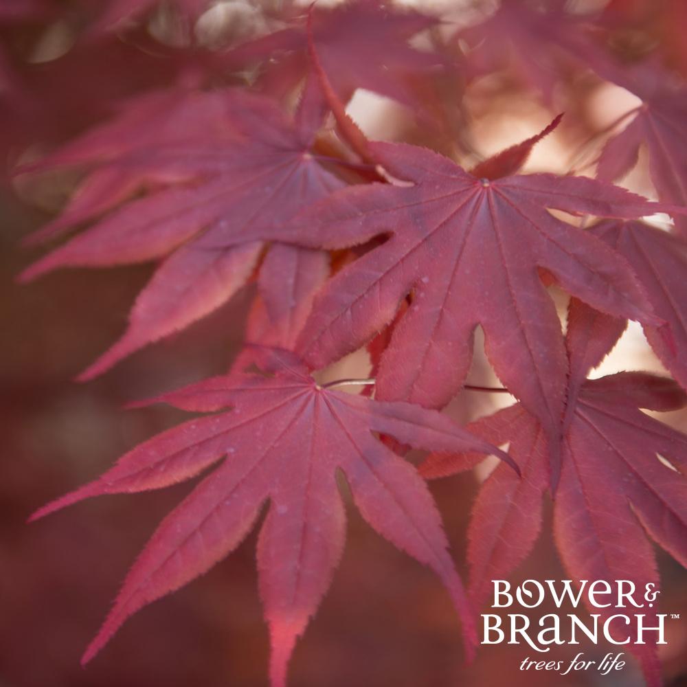 Shop Japanese Maple