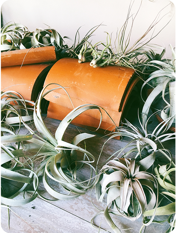 airplants-on-roof-tile-rd-edg-600.png