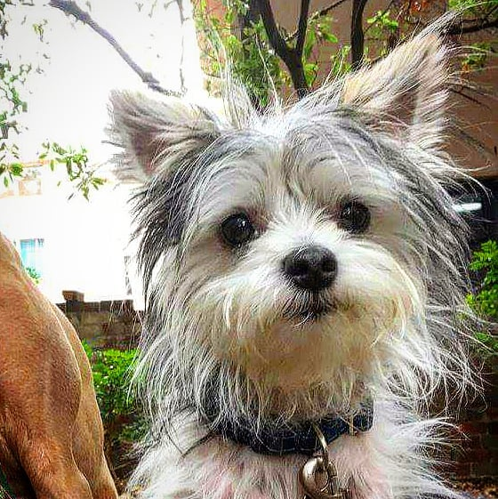 """This week's dog of the week is """"Moppy""""  Moppy loves licks and cuddles and peeing on himself  #butcherbirdcafe #dogsofinstgram #dogoftheweek"""
