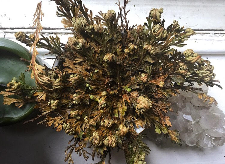 BehatiLife Rose of Jericho