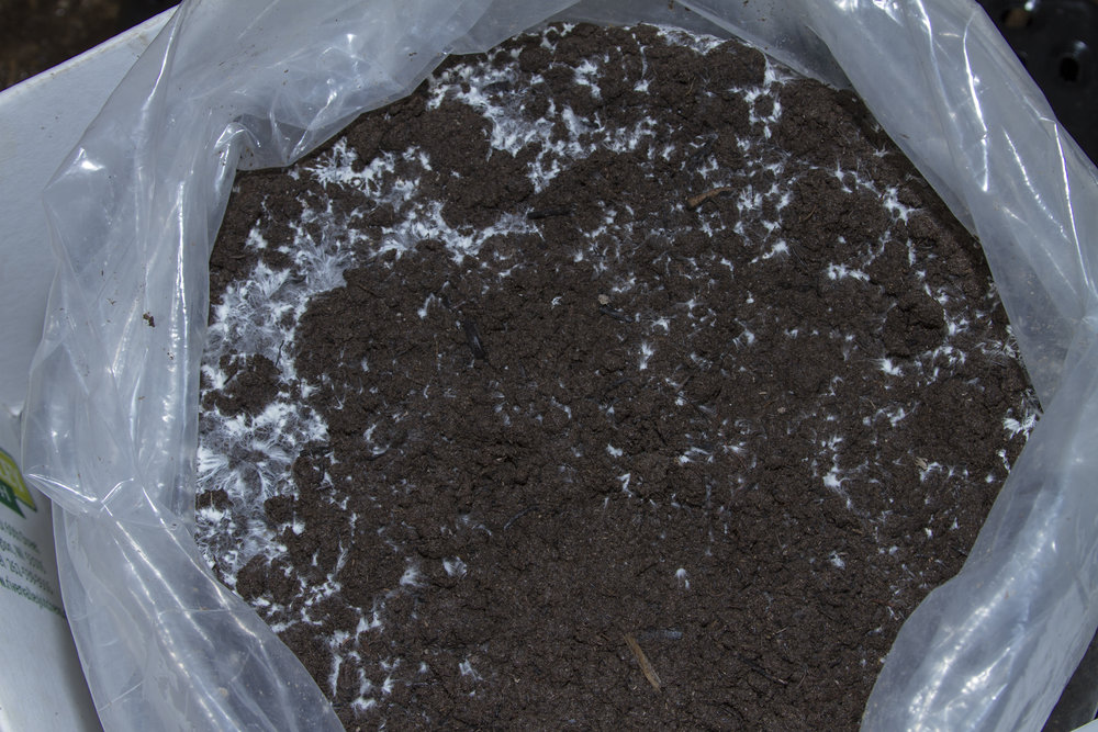 Step 2: Once the mycelium ( white fuzzy to thread-like growth) covers 30-40% of soil surface, roll or cut bag down to soil level. Move to 62-65 degree area, draft free space.