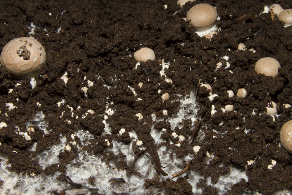 Mushrooms can be harvested at any stage you like. Simply push down on cap and simultaneously turn and pull up. Remove any remaining stem if it breaks, as this can cause the kit to rot very quickly.
