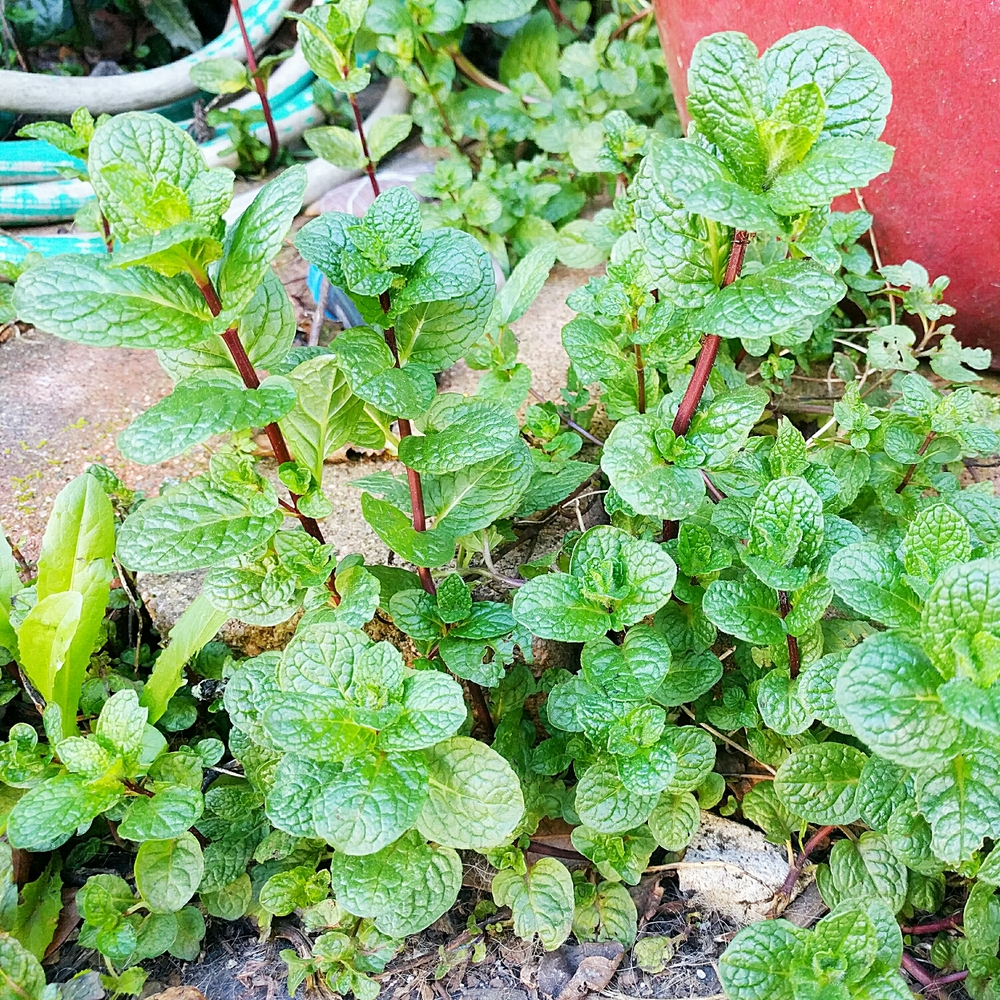 Conventional wisdom cautions that you should always plant your mint in a pot; otherwise, it will take over your garden the way it has ours. I don't mind it so much, though.