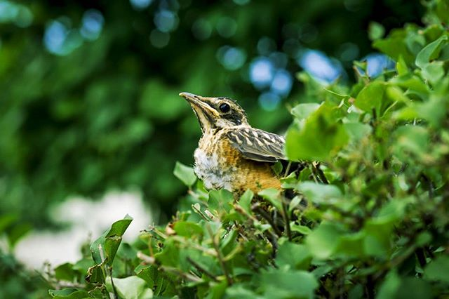 A friend. . . . . . #summerday #pajarraco #green #midwest #hurt #bird #85mm #rokinon #canon7d #lostbird #animalove #birdlove #instaanimales #pajarito