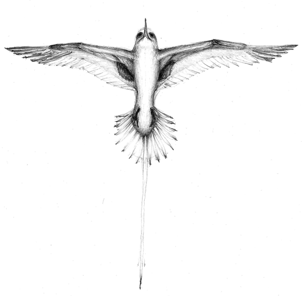 """the Bermuda Longtail"" drawing by greg frucci.  copyright 2011."