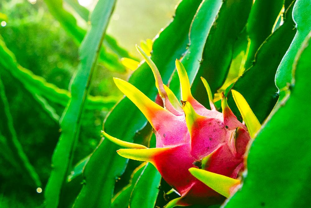 dragon-fruit-close-up.jpg