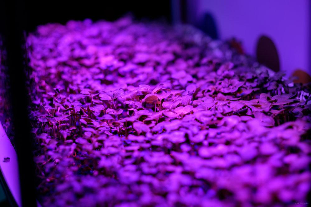 Lettus grow aeroponic vertical farm microgreens.jpg