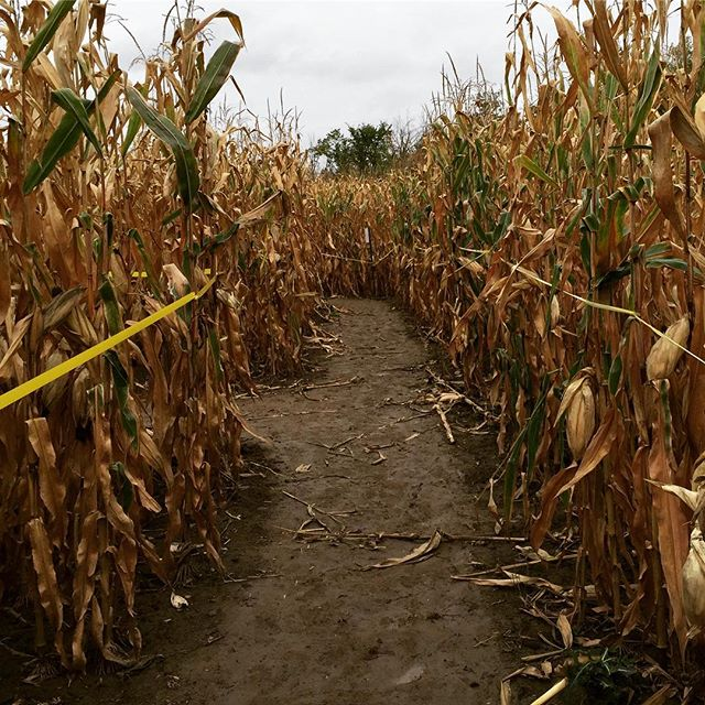 Enter the Corn Maze! It's Easy to get lost in.