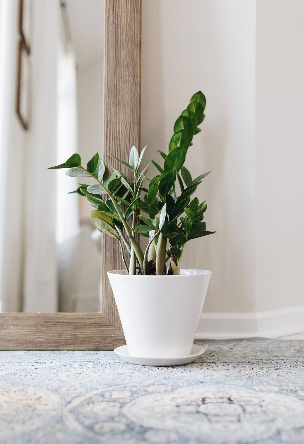 Convivial  Small Minimal Planter  paired with a ZZ Plant