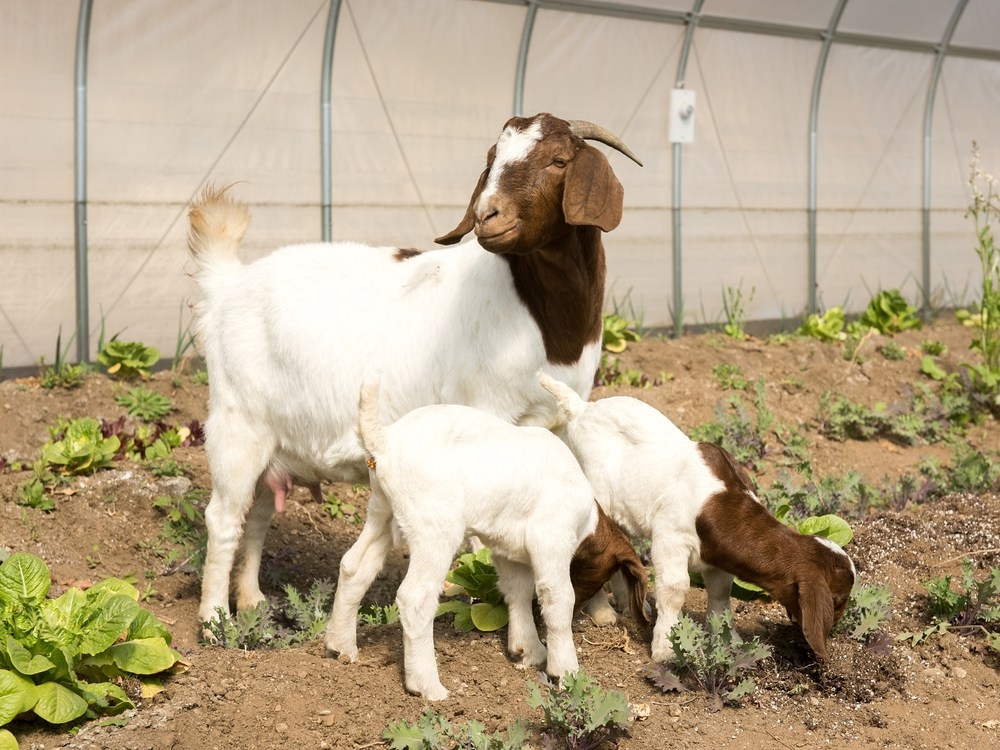 Did I mention there were goat babies? Two seven-day-old bucklings.