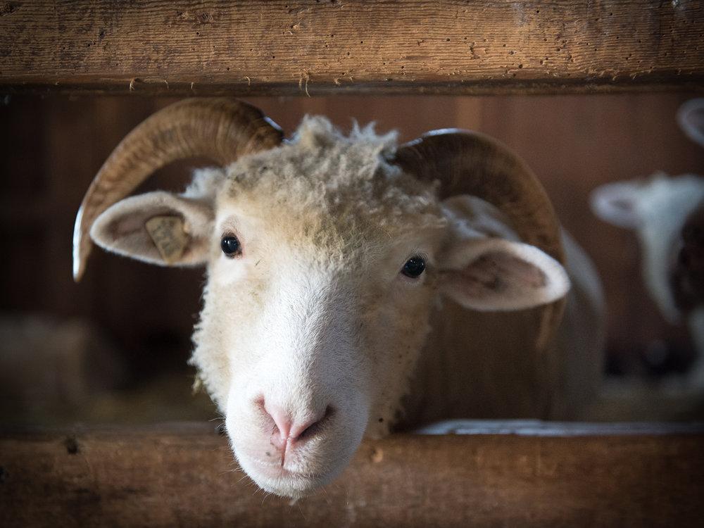 """Sheep Peek"""""""