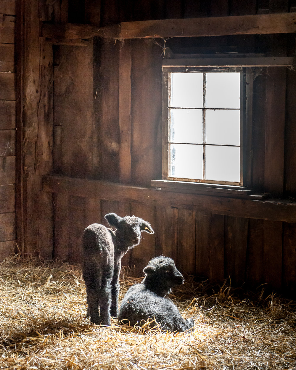 """Black Lambs in Sunlight"""