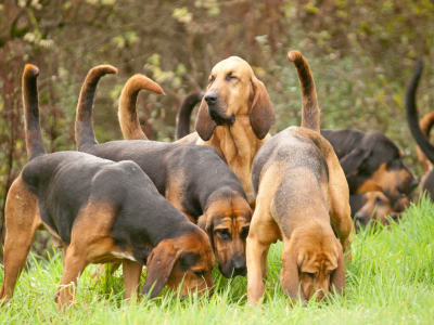 BloodhoundsHunting.jpg