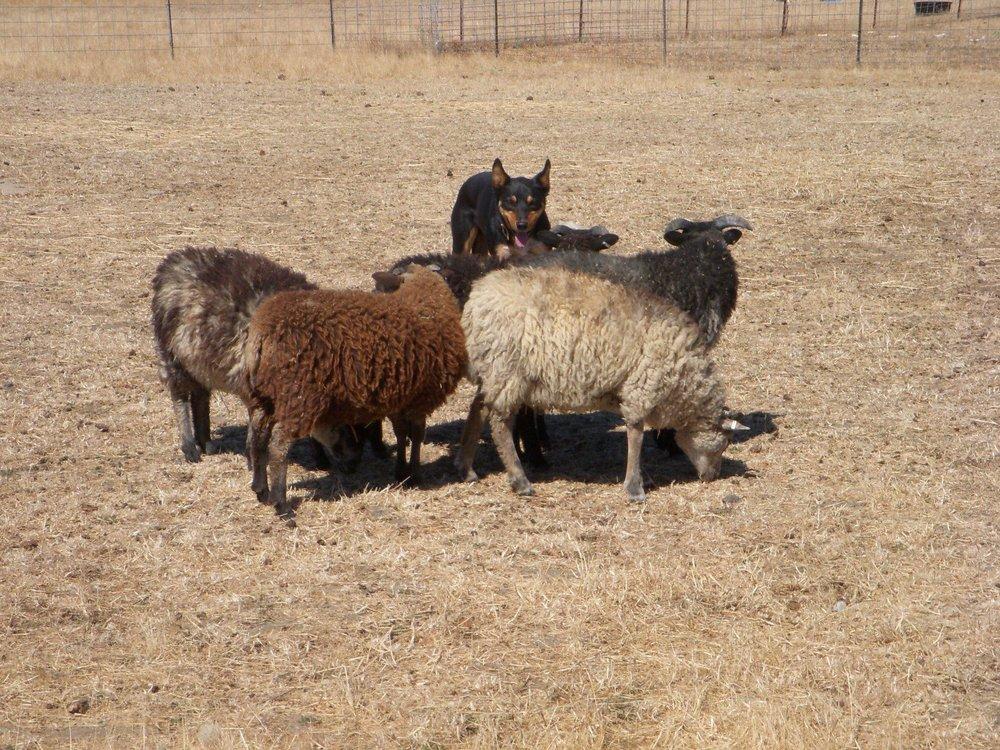 Squink herding.jpg