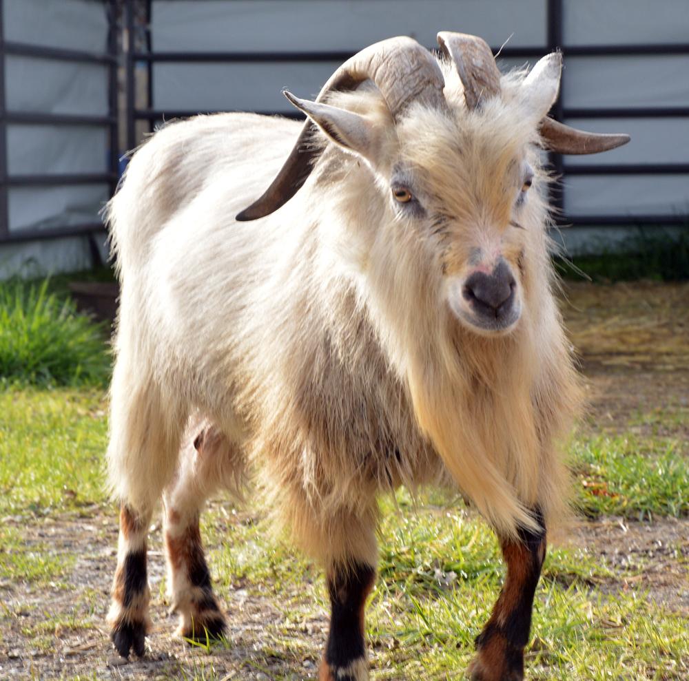 goat for kathy.jpg