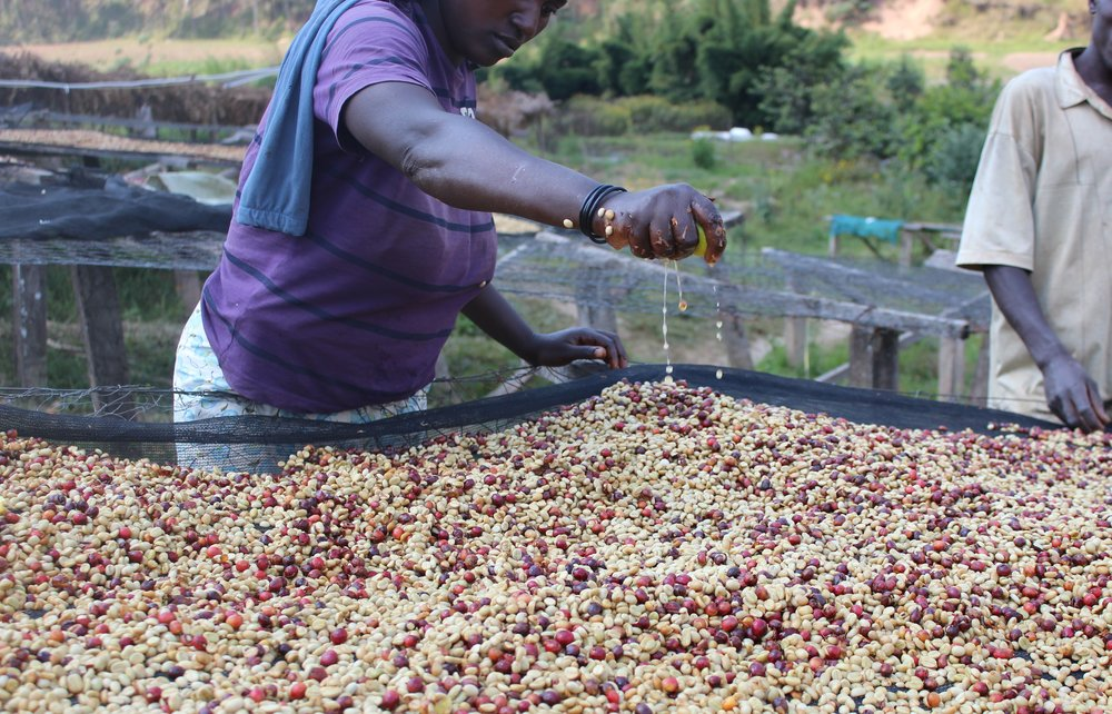 Honey Processed Coffee on the drying tables