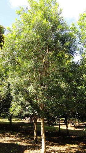 2011-Tristania-laurina-tree-e.jpg