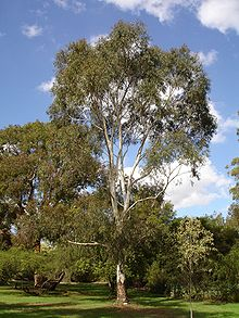Wallangarra White Gum Tree Sales