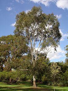 Wallangarra White Gum Tree Sales