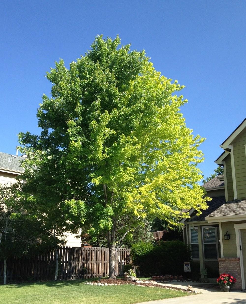 Maple_Tree_front_yard_June_2013_original.jpg