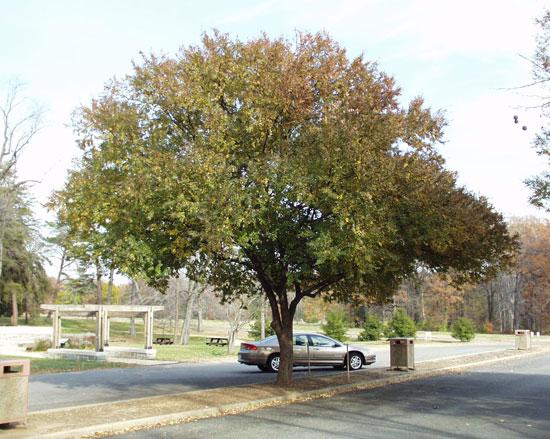 ulmus-parvifolia-dynasty-tree-fall.jpg