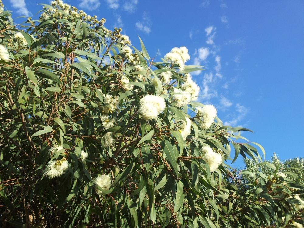 corymbia-eximia-nana-3.jpg