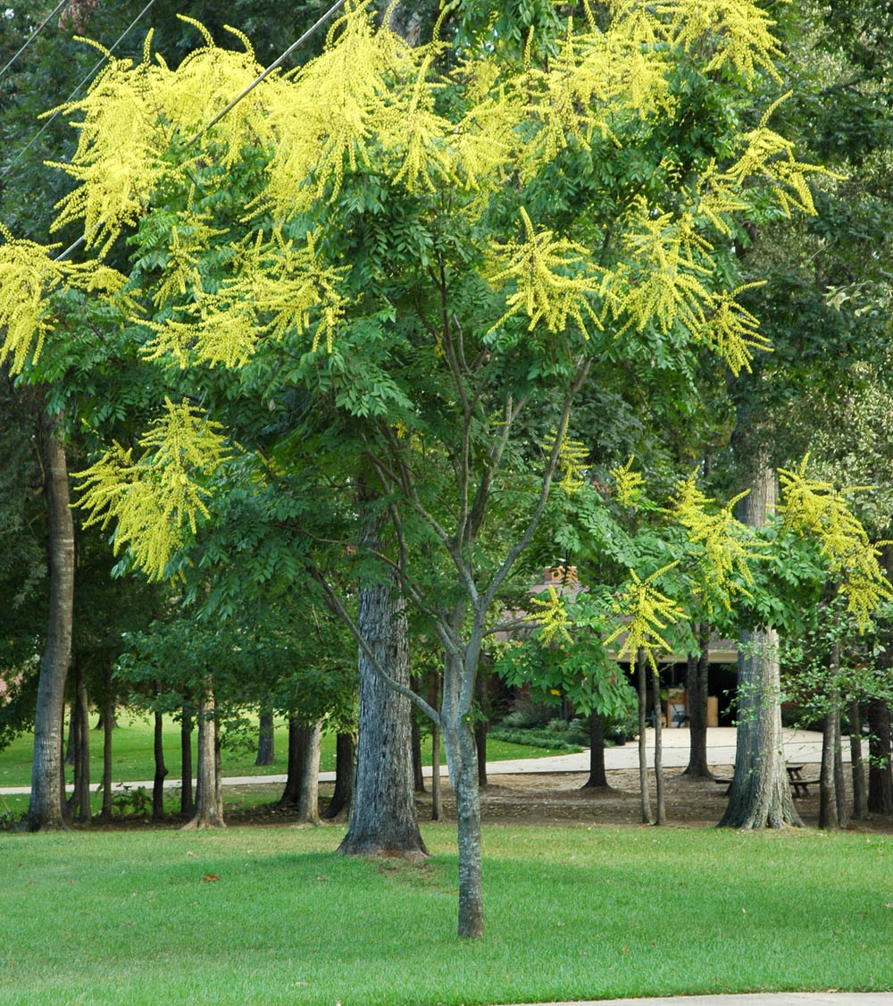 Golden Rain Tree Tree Sales