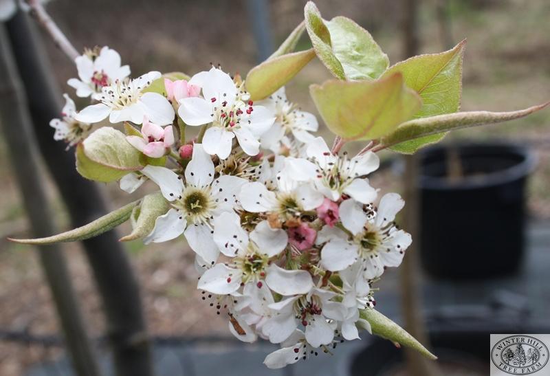 Blossomlogo.JPG