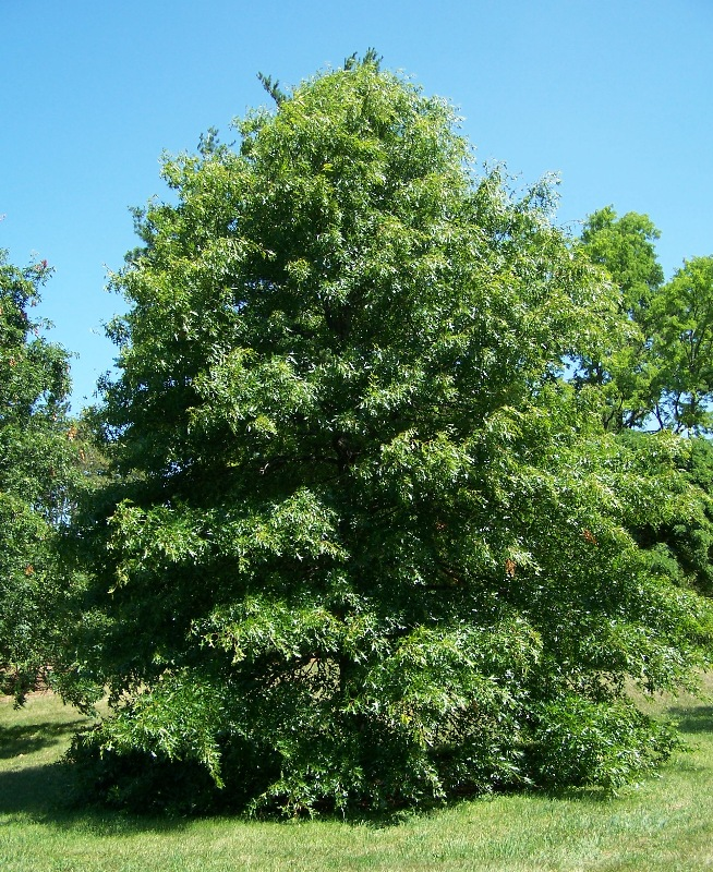Pin_oak_quercus_palustris.jpg