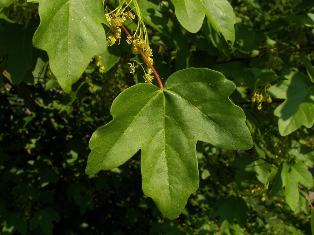 acer_campestre-leaves.jpg