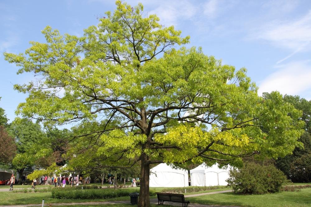 Quercus_coccinea_JB.jpg