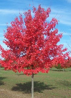 Autumn Blaze Maple Tree Sales