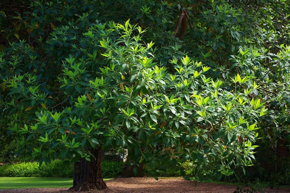Pflanzen_Australien_Queensland_Box_Lophostemon_confertus_1_1200.jpg
