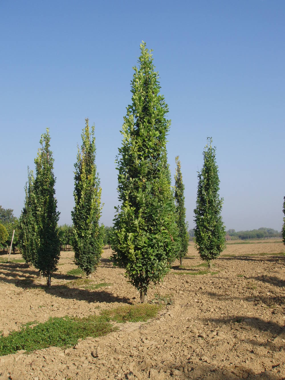 Upright english oak tree sales - Upright trees for small spaces concept ...