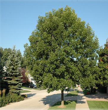 Cimmaron Ash Tree Sales