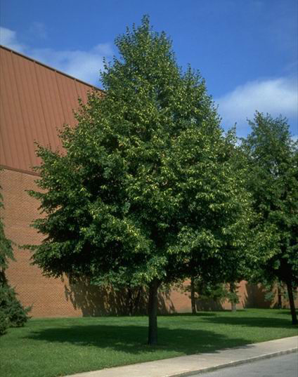 Upright small leaf linden tree sales - Upright trees for small spaces concept ...