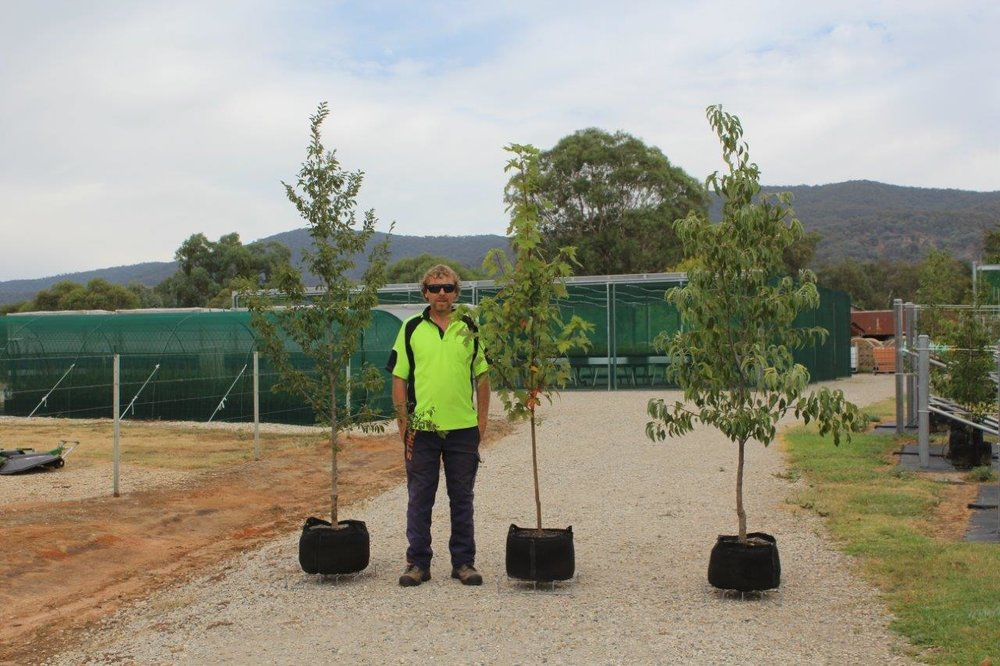 All trees are grown to Australian Standards (AS2303)    Get a Quote