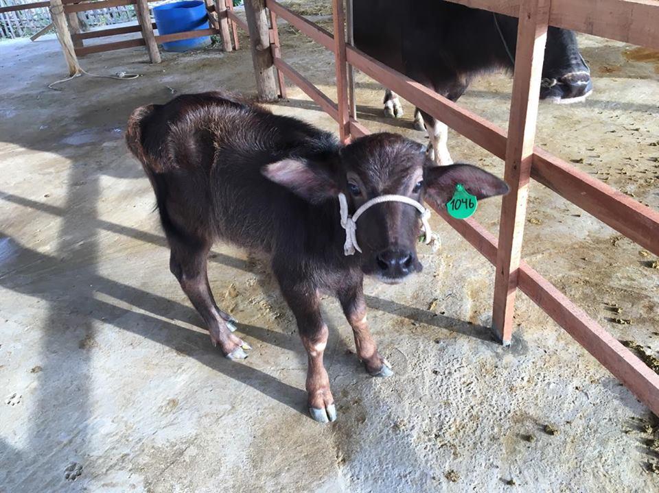 crossbreed baby buffalo.jpg