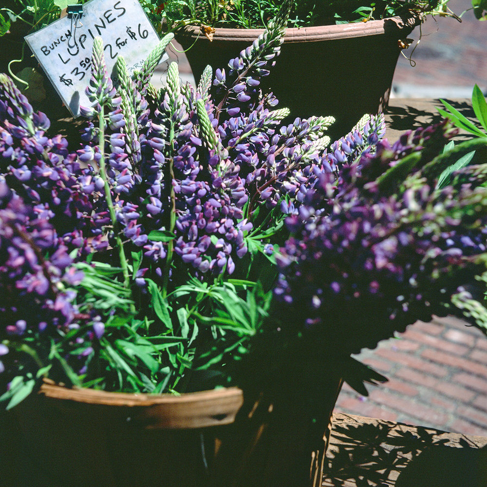 Lupines at the Portland Farmers Market