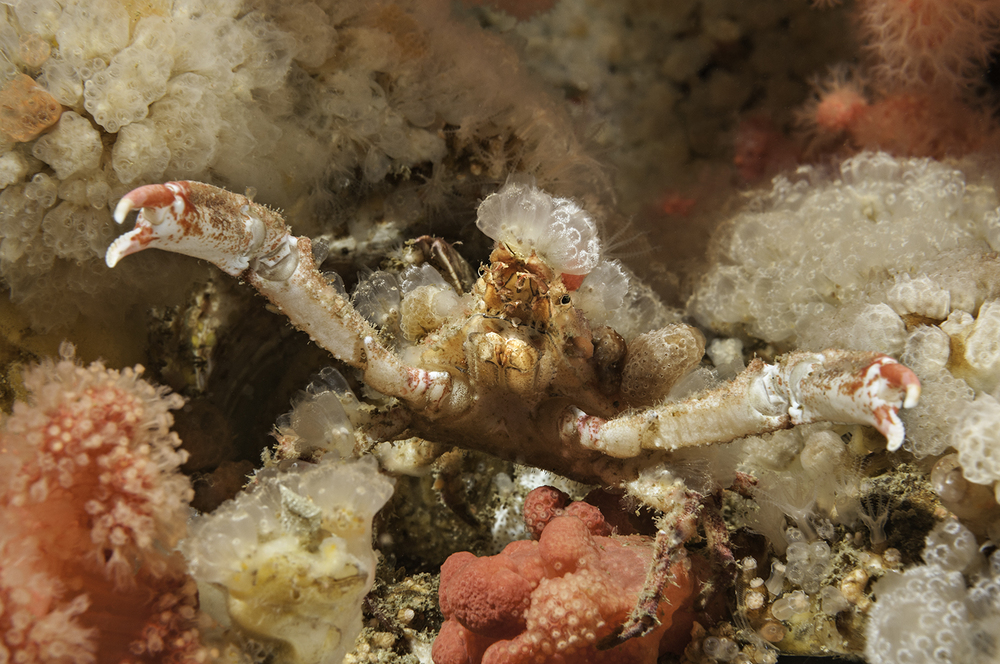 Sharpnose Crab,  Scyra acutifrons