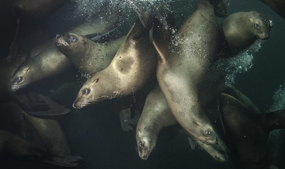 Steller Sea Lions,  Eumetopias jubatus