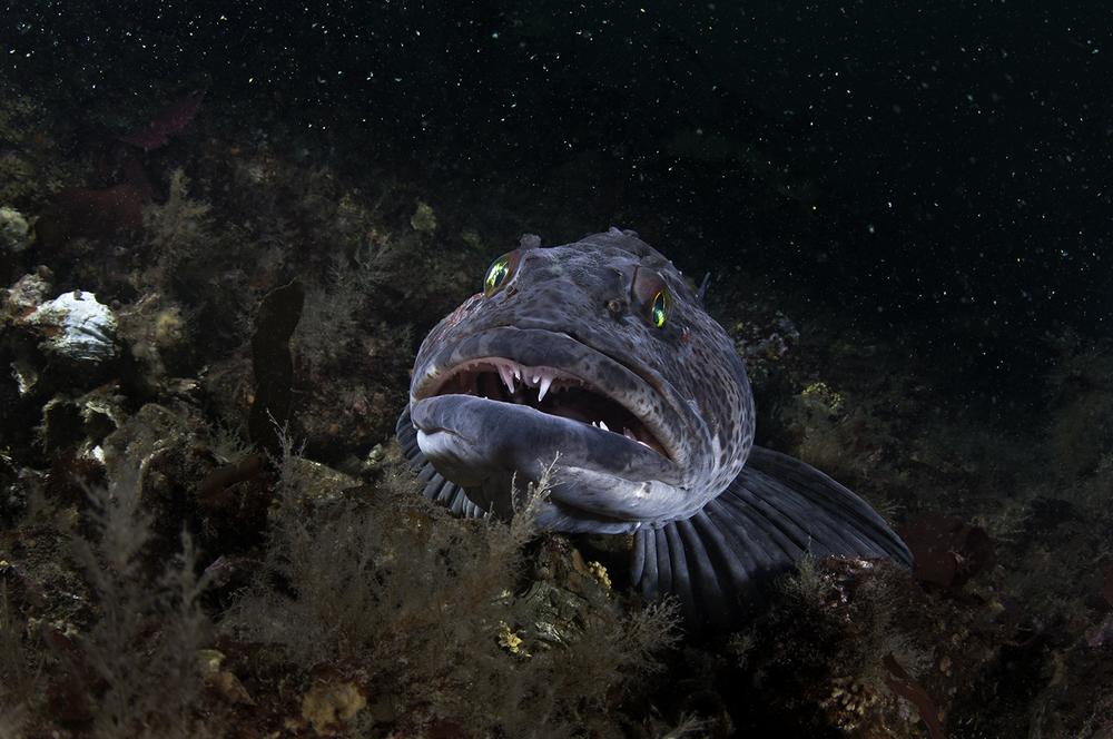 Lingcod, Ophiodon elongatus