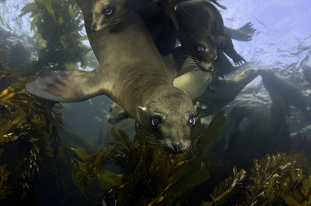 California Sea Lion, Zalophus californianus