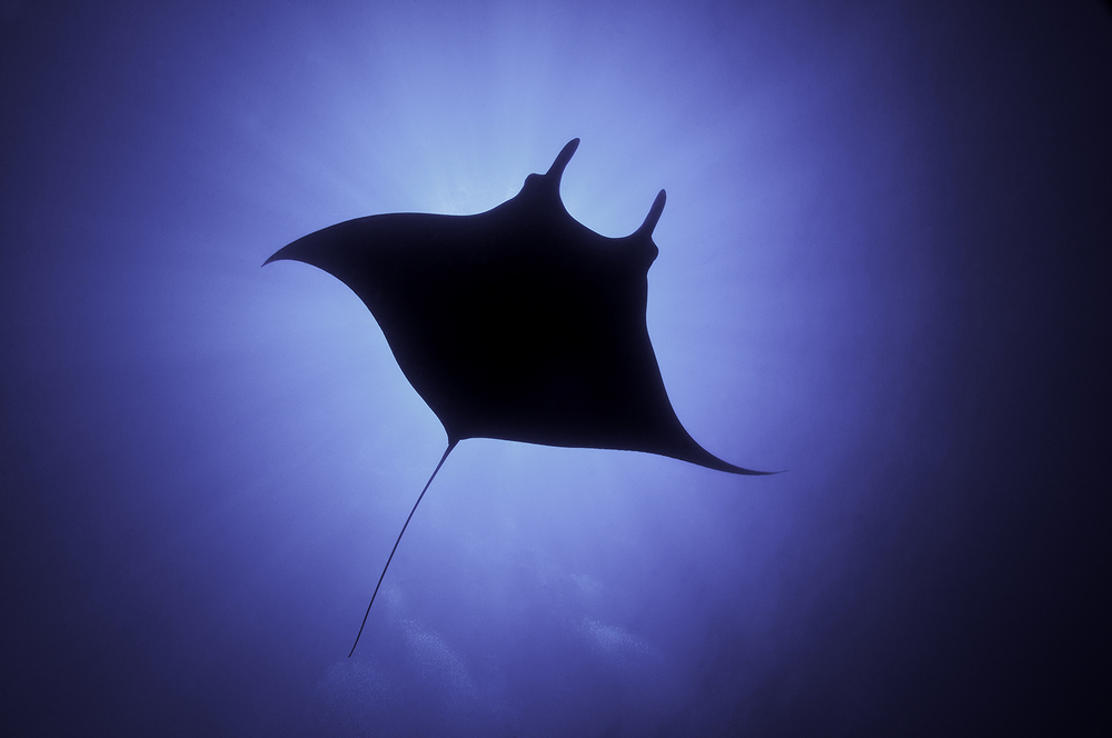 Giant Manta Ray,  Manta birostris