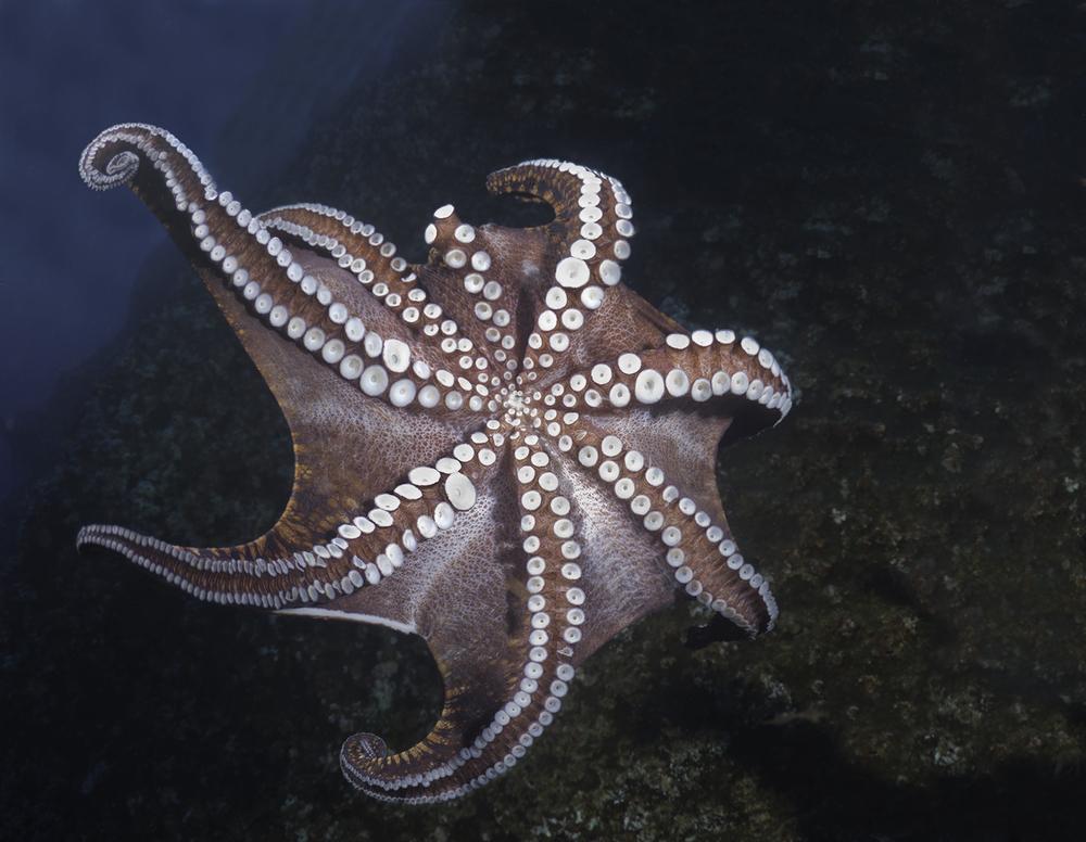 Octopus,  Octopus sp