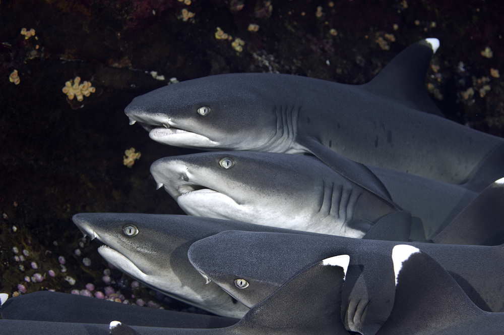 Whitetip Reef Sharks, Triaenodon obesus